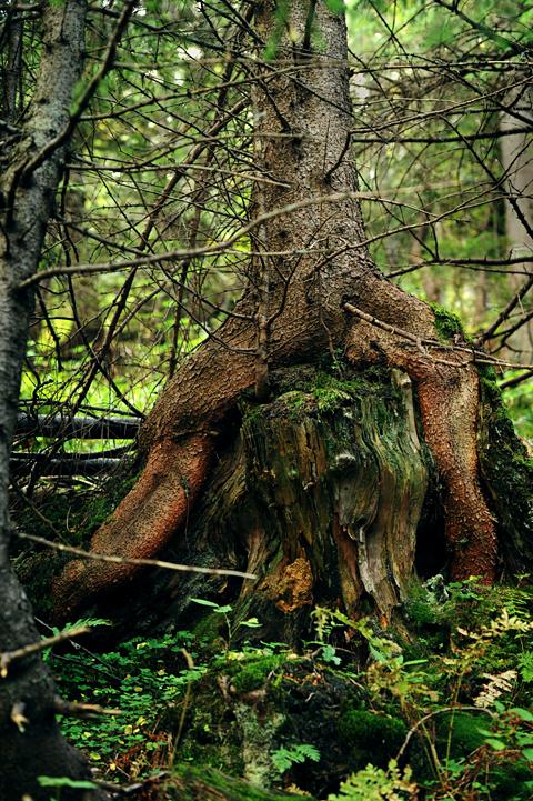 Drzewa w Tatrach